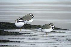 Ringed Plover Bird Art - A Limited Edition Print By Bird Artist Chris Lodge Bird Artists, Shorebirds, Sea Birds, Wildlife Art, Painting Inspiration, Animals, Seaside, Panda, Animales