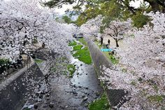 2014/4/10/ 店先に春到来☆夙川(苦楽園口付近)の桜。