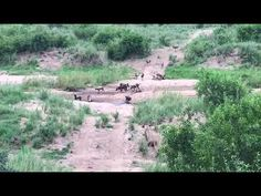 YouTube African Wild Dog, Wild Dogs, All Inclusive Resorts, Safari, Hunting, Explore, Youtube, Photography, Life