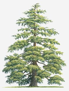 Illustration Of Evergreen Cedrus Deodara (deodar Cedar Himalayan Cedar Tree Canvas Print / Canvas Art by Sue Oldfield Illustration Botanique, Tree Illustration, Conifer Trees, Evergreen Trees, Fine Art Prints, Framed Prints, Canvas Prints, Cedrus Deodara, Watercolor Trees