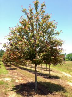 Looking for a pop of color in your green yard? Plant a Wildfire Blackgum, they have color year round! Shade Trees, Color Pop, Sidewalk, Yard, Shades, Green, Plants, Patio, Side Walkway