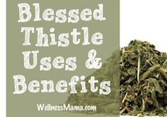 The benefits and uses of blessed thistle herb