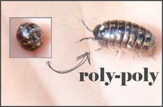 Homeschool hands on science fun - roly poly's.  Beth's absolute favorite bug - she collects them dailly!
