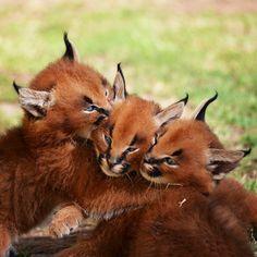 Animals And Pets, Baby Animals, Cute Animals, Wild Animals, Lynx, Big Cats, Cool Cats, Beautiful Cats, Animals Beautiful