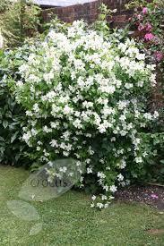 1000 images about philadelphus 39 manteau d 39 hermine 39 on pinterest shrubs end of and articles - Philadelphus manteau d hermine ...