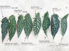 Begonia with polka dot pattern水玉模様のベゴニア Unusual Plants, Rare Plants, Tropical Plants, Cactus Plants, Foliage Plants, Begonia Maculata, Pot Plante, Plant Identification, Unique Gardens
