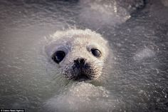 Baby Harp Seal - first time in the water (Cute Overload)