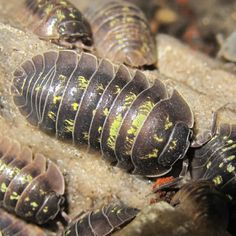 """Armadillidium Depressum. Southern Pill Isopod. """"High Yellow"""". A larger pill Isopod with depressed armour. The only real difference in this group is the high amounts of yellow. Crustacea. Malacostraca. Isopoda. Oniscidea. Armadillidiidae."""