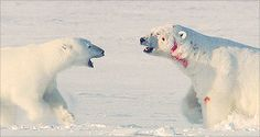 six animated images; Male polar bear defending his interests in a female polar bear by fighting off a rival male to prevent him mating with his female. If I remember correctly the larger bear (one with blood on his fur) was the defender and was successful in seeing off his rival. ʕ ´ᴥ`ʔ http://howtoskinatiger.tumblr.com/post/40249680681/thepolarbearblog-male-polar-bear-defending-his