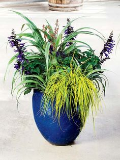 A cobalt blue pot forms the colorful foundation for a quartet of plants with interesting foliage color and form. Tall, metallic green Astelia 'Silver Shadow' sits up high, while purple-flowering Salvia 'Amistad' and coral-blooming Heuchera send up delicate flower spikes, and weeping chartreuse Carex oshimensis 'Everillo' spills over the edge.