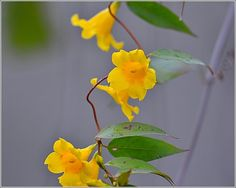 Yellow Jasmine wild vine here in s. c. Yellow Jasmine loves to climb and show its color before spring