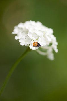 White Flower With Ladybug By Gillian Dernie