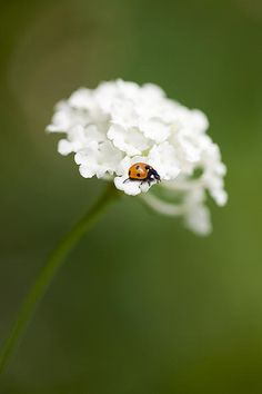 White Flower With Ladybug By Gillian Dernie