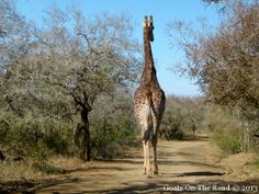 The cheapest safari parks in South Africa. Good for self driving. African Safari, South Africa, Giraffe, National Parks, Animals, Felt Giraffe, Animales, Animaux, Giraffes