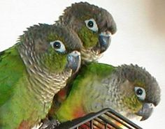 green cheek conures cuteness ( I'm such a lover of these kinds of conure)