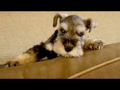 Frustrated Puppy Can't Get Up On Couch @ ChumpieTheDog ~ DogPerDay ~ Cute puppy pictures, dog photos, cute videos, holistic pet care