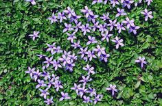 Pratia pedunculata County Park Creeper - love this ground cover Landscaping Tips, Outdoor Landscaping, Plant Texture, Ground Cover Plants, Sun And Water, County Park, Ponds Backyard, Lawn And Garden, Creepers