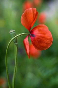 A splash of red by Mandy Disher Florals, via Flickr