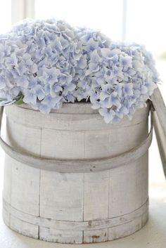 Hydrangeas in sap bucket ZsaZsa Bellagio