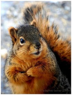 Red squirrel by Adrienne Berner Animals And Pets, Baby Animals, Funny Animals, Cute Animals, Wild Animals, Amor Animal, Mundo Animal, Squirrel Pictures, Animal Pictures