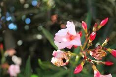 Pink blossom -