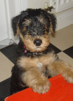Airedale Puppy by Tazly.deviantart.com on @deviantART