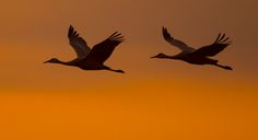 No matter where you go, I will always be with you .... Sandhill Crane | by EricLuSF