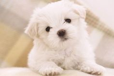 Dogs That Don't Shed: 23 Hypoallergenic Dog Breeds – 2. Maltese Terrier #MalteseTerrier http://www.pindoggy.com/pin/8041/