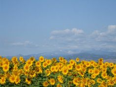 Sunflowers in a #Colorado field. Beautiful. #photography