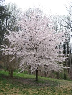 kwanzan cerry tree