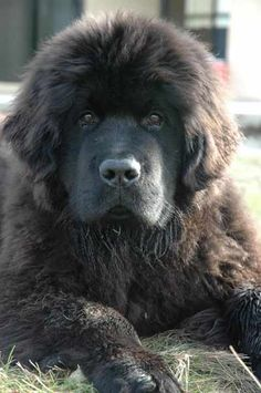 Five month old Newfoundland pup. So beautiful