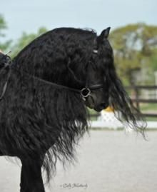 majestic black Friesian horse dressage show performace Andalusian