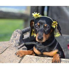 doxie celebrates summer #dachshund