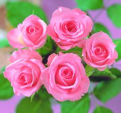 colorful roses - roses Photo