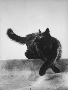 Beautiful Black Cats ♥ Portrait of Blackie, Gjon Mili's cat.