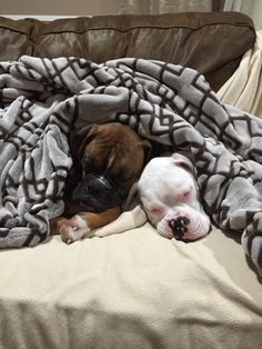 Awww...Snoozing Boxers