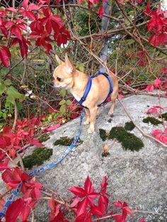Chihuahua Lucky