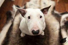 #Bull #Terrier