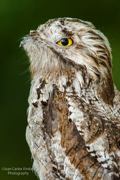 ˚Northern Potoo - One of the most difficult birds to find in the neo tropics due to their wonderful camouflage