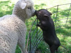 """From original pinner:  """"My mini pig, Humphry and my sheep, Shawn!"""""""