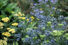 So far the crithmum has been the most reliable umbellifer to flower through summer. (Selinum wallichianum is struggling. to put it mildly.) Crithmum with yarrow and Eryngium planum. Garden Of Eden, Green Garden, Garden Plants, Great Barrington, Sea Holly, Perennial Plant, Sandy Soil, Perennials, Planting Flowers