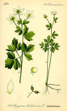 Wiesenrauten-Muschelblümchen (Isopyrum thalictroides), Illustration