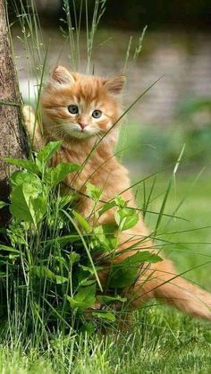 Siamese Kittens, Cute Cats And Kittens, Kittens Cutest, Black Kittens, Fluffy Kittens, Kittens Playing, Ginger Kitten, Ginger Cats, Pretty Cats