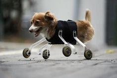 This Handicapped pup looks like he is a very happy guy. Wonder how fast he can go??