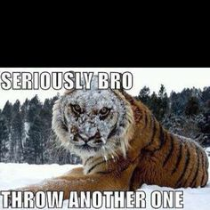 "Yeah...that thing about Siberian tigers ""loving"" snow...the ""love"" part should be taken loosely.."