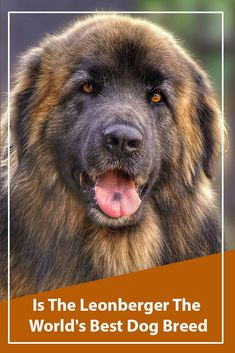 Dogs The Leonberger Dog – The gentle giant. Is this the most healthy dog breed? Giant Dogs, Big Dogs, Small Dogs, Leonburger Dog, Le Plus Grand Chien, Chow Chow, Healthiest Dog Breeds, Caucasian Shepherd Dog, Food Dog