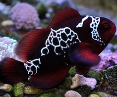 I finally own a pair of these beauties... the lightning maroon clownfish <3