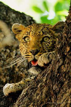 120 Ideas De Jaguares Y Leopardos Leopardos Felinos Jaguar