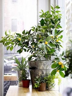 The perfect blend of pretty and productive, these fruit trees can be grown like houseplants.