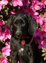Luvvy is an adoptable Labrador Retriever Dog in Alpharetta, GA. Hi! My name is Luvvy, which is perfect because I love EVERYONE. Its what I do best. A few weeks ago I lived in a shelter, but I had a ba...